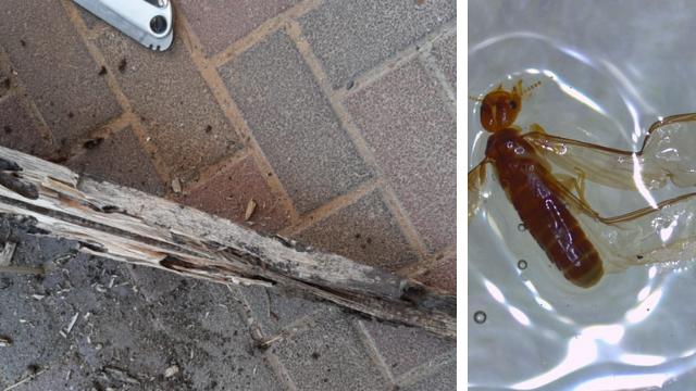 מימין: הטרמיט הקריבי, ונזק של טרמיטים שהתגלו בפתח תקוה