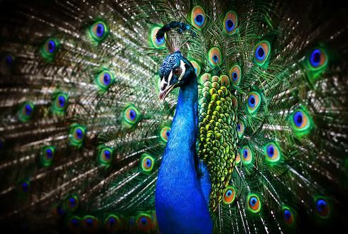 כאן גר בכיף - טווס (למצולם אין קשר לידיעה) | צילום אילוסטרציה: Shutterstock
